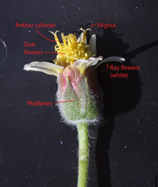 Lesson 13  Dicots  U2013 Botany Companion